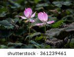 Two Lotus Flower Happy Togethe...