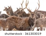 A Large Herd Of Sika Deer...