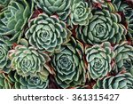 Background With Many Echeveria...