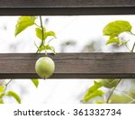 Green Passion Fruit Hanging On...