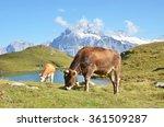cows in an alpine meadow.... | Shutterstock . vector #361509287