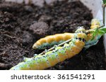 Small photo of brahmaea japonica caterpillars