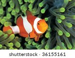 A Clown Anemonefish In Colorful ...