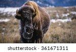 Great Plains Buffalo