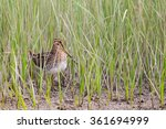 common snipe  gallingago... | Shutterstock . vector #361694999