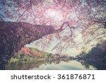 cherry blossom in chiang mai... | Shutterstock . vector #361876871