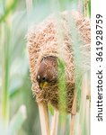 Small photo of A thick-billed weaver looks out of her nest