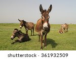 Drove Of Donkeys Resting In Th...