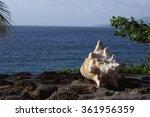 Small photo of Sea Conk