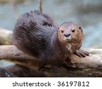 Giant River Otter Sitting On...