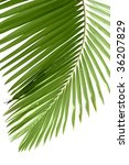 leaves of palm tree isolated on ... | Shutterstock . vector #36207829