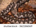 Small photo of horned viper ammodytes viper ready to bite poison reptile Trentino Alto Adige