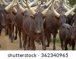 Flock Of Cattle Cows In Uganda