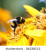 Bumblebee On The Yellow Flower