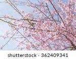 pink sakura flower  cherry... | Shutterstock . vector #362409341