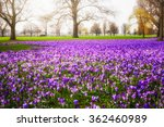 Blooming Crocus Flowers In The...