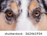 Australian Shepherd Dog Eyes