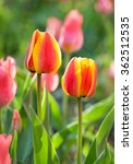 Small photo of Yellow-pink tulips in the garden (variety Allegretto), selective focus