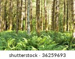 Small photo of Red alders (Alnus rubra) and ferns in the Quinault temperate rainforest in the Olympic National Park, Washington state, U.S.A.