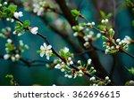 apple begins to bloom in a... | Shutterstock . vector #362696615