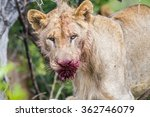 Lion With Blood On Face