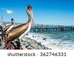 Pelican at the fish market of...