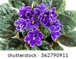 Flowers Of African Violet Aka...