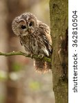 Stock photo vertical photo of small european owl strix aluco tawny owl perched on twig in oak forest 362810504