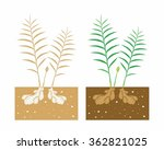 ginger plant with leaves and... | Shutterstock .eps vector #362821025