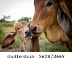 Red Cow And Calf. Selective...