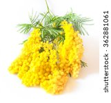 Small photo of Acacia dealbata or acacia whited (Mimosa) isolated on white background