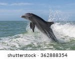 Atlantic Bottlenose Dolphins  ...