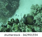french angelfish swimming over... | Shutterstock . vector #362901554