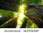 Giant Redwoods Reach Toward Th...