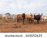 australian cattle with horns on ...   Shutterstock . vector #363052625