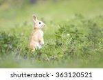 Wild Rabbit On The Watch Hidin...