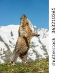 Small photo of Alpine Marmot, Austria