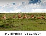 Small photo of Maji Ya Fisi Pride, four males and three females, in Masai Mara, Kenya