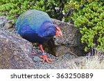 Small photo of New Zealand takahe