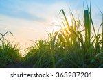 sunset over sugar cane field | Shutterstock . vector #363287201