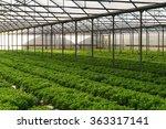 grow salad in greenhouse pure... | Shutterstock . vector #363317141