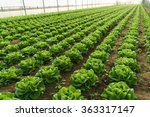 grow salad in greenhouse pure... | Shutterstock . vector #363317147