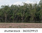 Small photo of Rubber trees afforestation next to the cassava field, Thailand