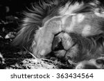 A Lion Sleeping In Kruger...