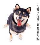 Stock photo siba inu dog isolated on white top view 363481874