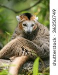 crowned lemur (Eulemur coronatus) sitting on a branch of a tree - stock photo