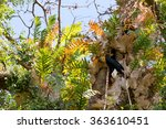 Small photo of Knobbed hornbill, Aceros cassidix, fed walled female on the nest at a tree top.Tangkoko National Park, Sulawesi, Indonesia