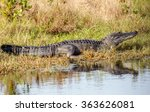 American Alligator Sunning...