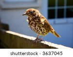 A friendly British thrush on a garden fence. - stock photo