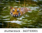 Tiger Swimming In A National...